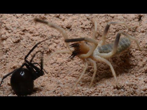 Camel spider vs black widow - photo#4