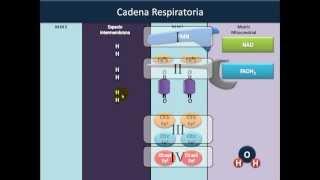 Bioquímica - Óxido Reducción parte 5 - Cadena Respiratoria