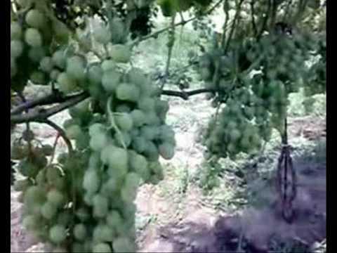 Butasi de vita de vie / Саженцы винограда