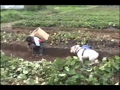 Đười Ươi và chó đi đào Khoai Lan   -  Coi và cười té ghế [Tại nhật bản]