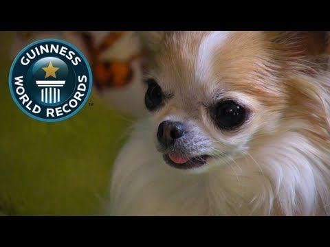 Smallest Service Dog - Meet The Record Breakers - Guinness World Records