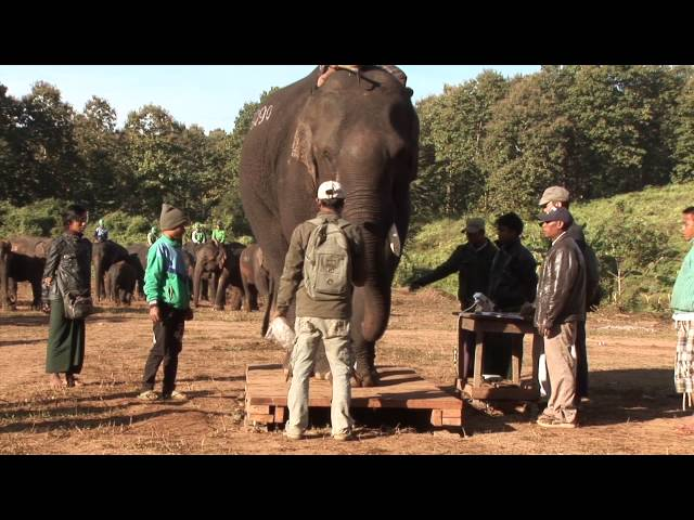 Improving the lives of Burmese working elephants