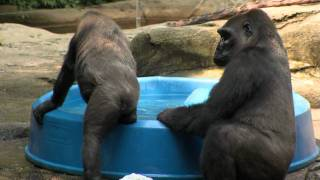 Gorillas Beat the Heat-Cincinnati Zoo