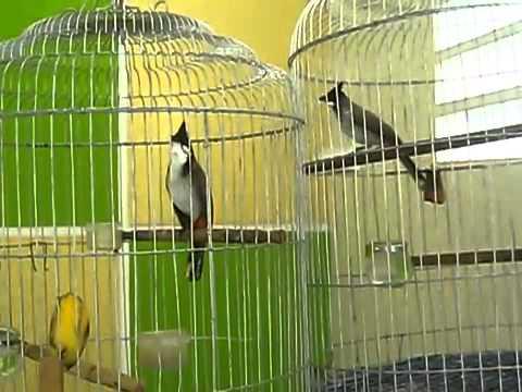 Chim Chào Mào Đấu Nhau, Chào mào chẻ