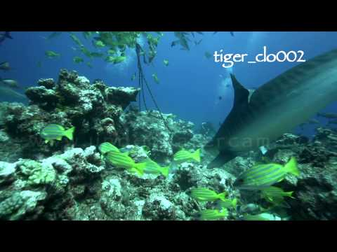 tahiti tiger sharks reel no 1