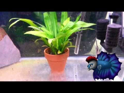 Detailed Guide For Breeding Angelfish Plus Raising Fry Sexing Angelfish