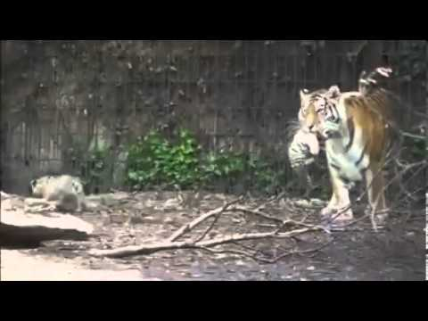 New tiger cubs seen for the first time at Copenhagen Zoo