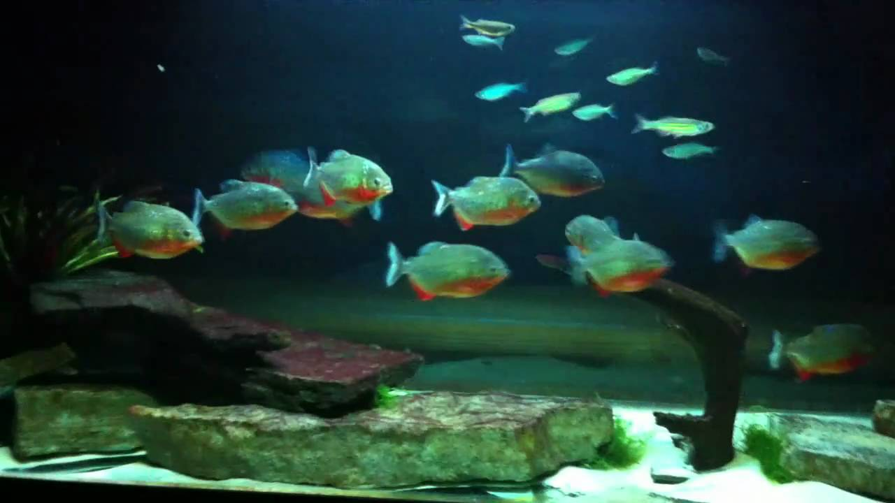 Piranha Tank Includes Cichlids And Giant Danios Youtube