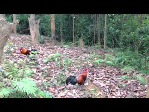 bẫy gà rừng đầu mùa 27/3/2015