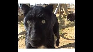 Black Leopard Love   African Big Cat Shows Affection Loves Grooming & Being Groomed