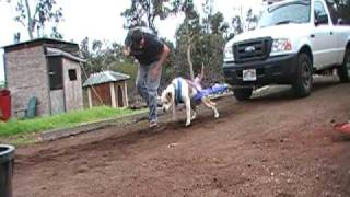 Hawaii's Strongest Dog Doc Pulls My Truck
