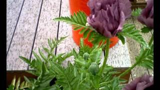 Papaver Orientalis Patty's Plum