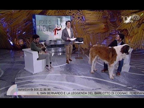 Storie di neve: i cani san Bernardo