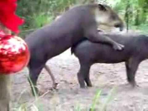 Tapir cojiendo con mujeres - Animales con personas apareandose ...