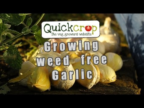 Growing weed free Garlic