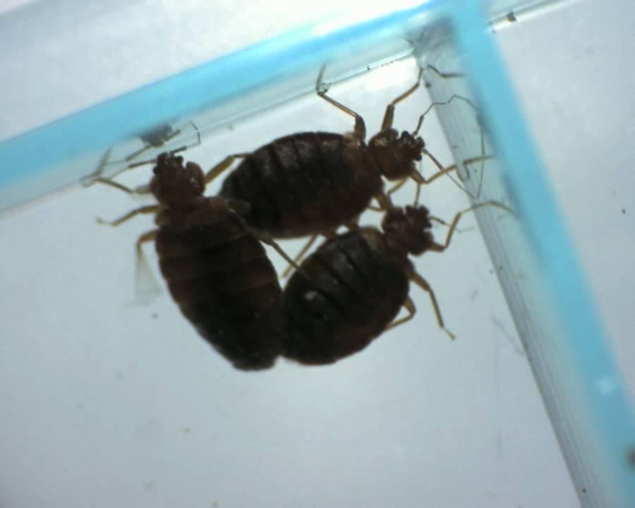 Microscopic bed bugs - photo#13