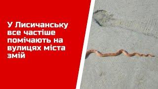 У Лисичанську все частіше помічають на вулицях міста змій