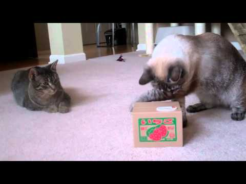 Kittens Play with Japanese Kitty Bank Toy