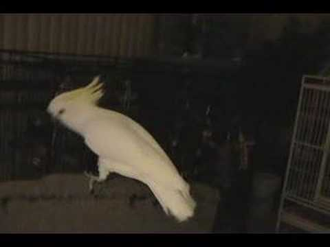 Snowball the Cockatoo