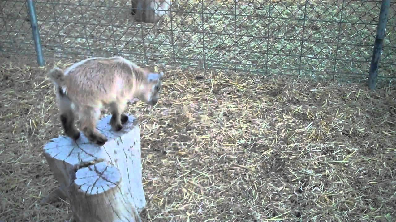 baby pygmy goats j...