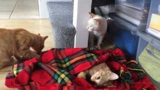 Two cats react to their brother's death