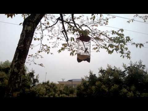 Chòe than già rừng hót đấu chòe trời (30-03-2013)