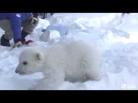 Toronto Zoo Polar Bear Cub Enjoys Playtime in his new Outdoor Habitat