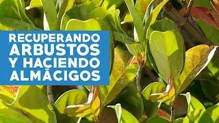 Cómo recuperar arbustos
