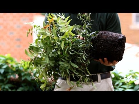 How to Rough Out & Plant Your Root Bulb | Lawn & Garden Care