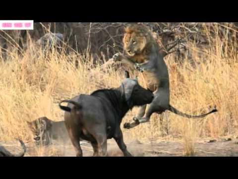 Thế Giới Động Vật Hoang Dã-Cuộc Chiến sinh tử Giữa  Trâu và SƯ TỬ(Lion vs Buffalo).