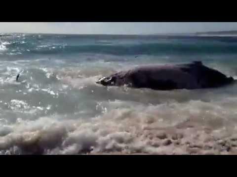 Hàng chục cá mập ăn thịt cá heo ngay bờ biển!