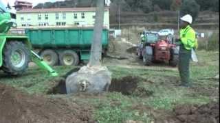 Transplantando árboles.