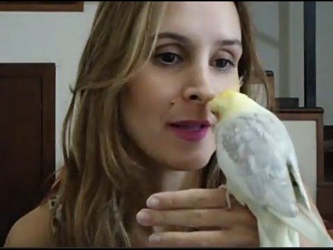 Como amansar sua calopsita - por Brena Braz