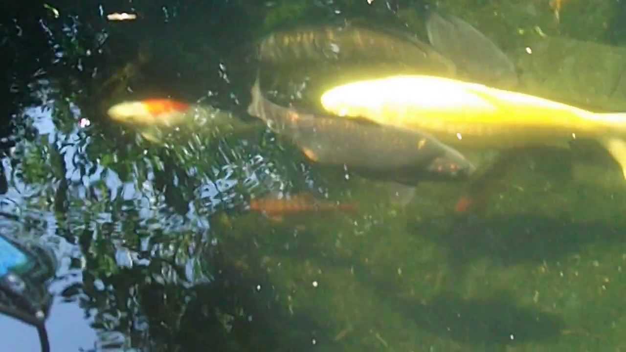for Koi carp pond size