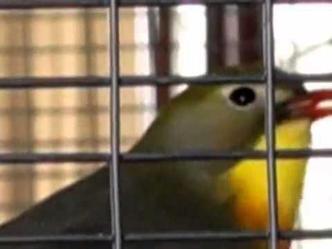 Sam Abdul - تغريد طائر العندليب الياباني