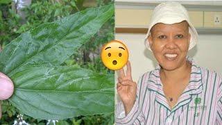 Phát hiện lá CHỮA KHỎI UNG THƯ GIAI ĐOẠN CUỐI mọc đầy ở Việt Nam ít người biết