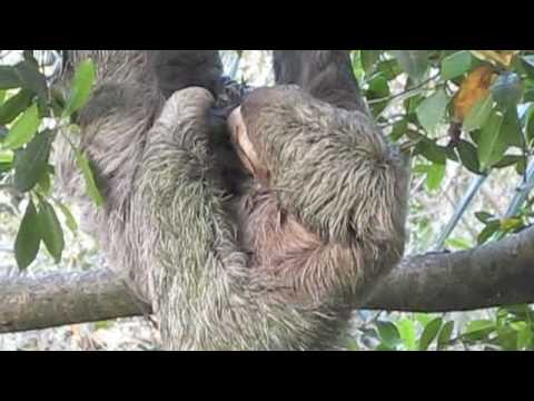 Baby Sloth Actual Live Birth at the Monkey House in Manuel ...