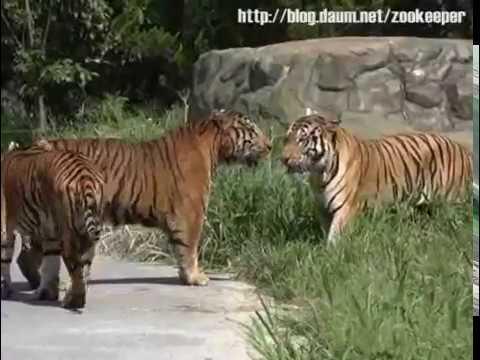 Displaying (16) Gallery Images For Amur Tiger Vs Bengal Tiger... | 480 x 360 jpeg 21kB