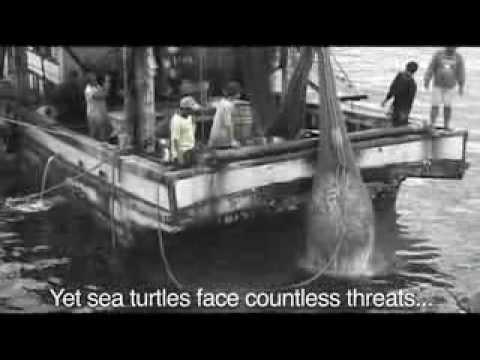 Sea Turtles - Our Oceans Ambassadors (Public Service Announcement version)