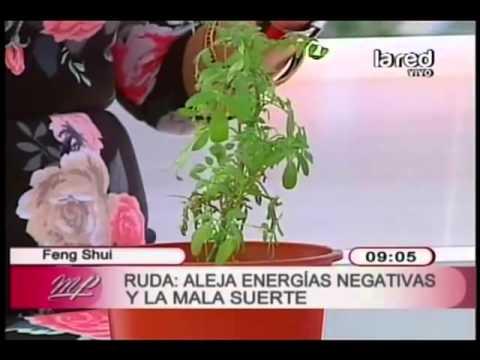 Feng shui de las plantas la ruda aleja las malas energ as for Feng shui para la buena suerte