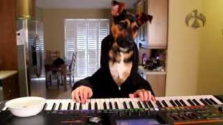 Dog Plays Waltz On Piano