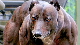 KHÁM PHÁ | Những Giống Chó Hung Dữ Và Nguy Hiểm Nhất Thế Giới