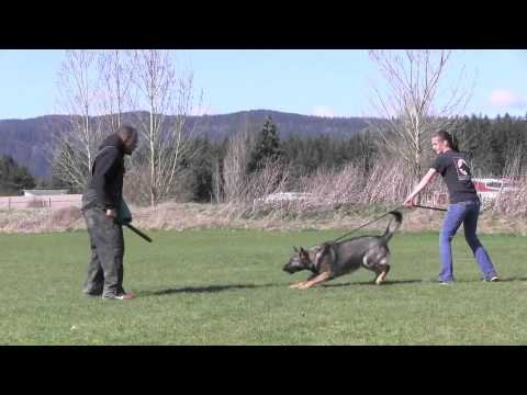 Protection Trained IPO Versatility German Shepherd For Sale