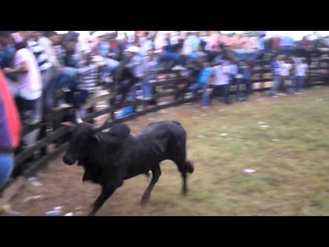 montas de toros nueva guinea 05 de marzo 2013