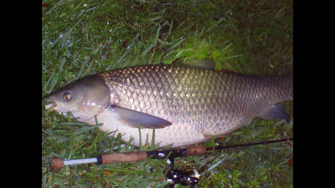 Grass carp night fishing using fig youtube for Grass carp fish