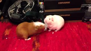 [Guinea pigs fighting over nail clipper]