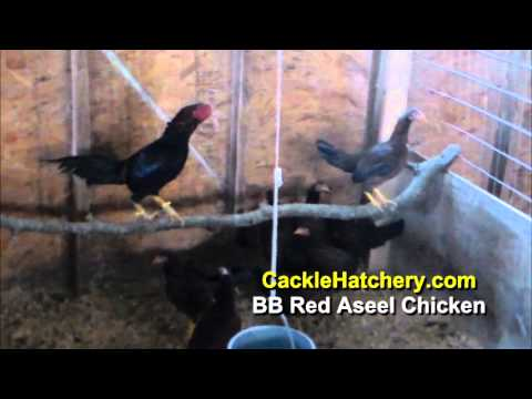 Black Breasted Red Aseel Chicken Breed (Breeder Flock)