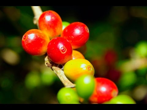 COFFEE INDUSTRY - SOLOMON ISLANDS