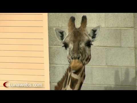 Giraffe Chews Loudly