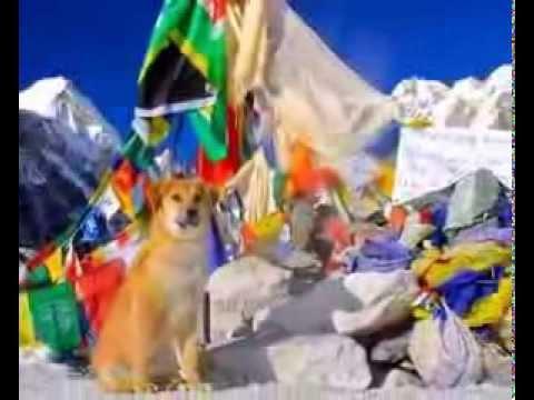 Primer perro en subir hacia la cumbre más alta del mundo. Everest